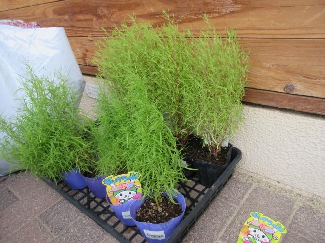 h300901 秋の花を植えよう2