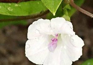 H290907 白い花