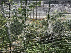 H300830 スイカ収穫1